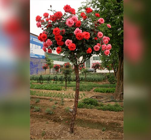 安徽月季树嫁接