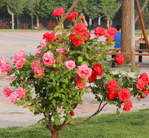 安徽月季树芽接