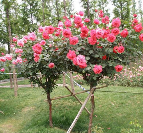 安徽树状月季