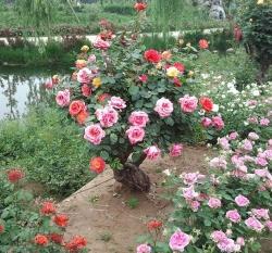 安徽多年生树状月季
