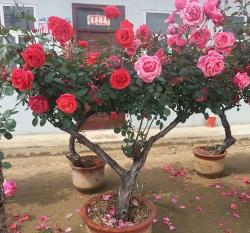 江西盆栽树状月季