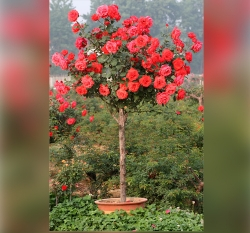 盆栽树状月季